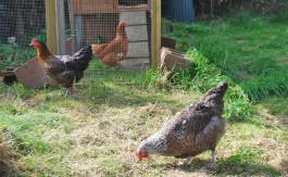 Blog-Chickens-