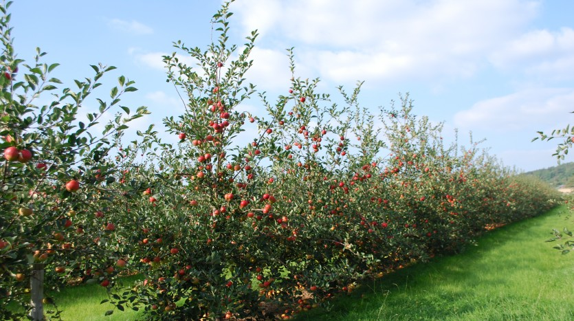 Apple orchards in Herefordshire