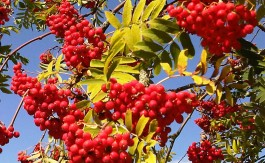Autumn-Colour-Rowan-Tree